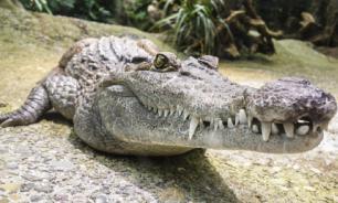 Открытие: крокодилы могут бегать галопом