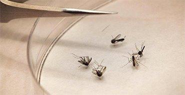 """Ученые придумали, как """"выключить"""" комаров-мутантов"""