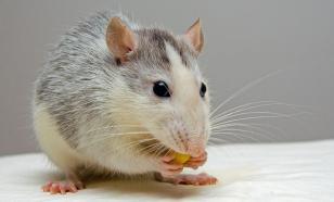 Млекопитающие могут учиться на чужих ошибках