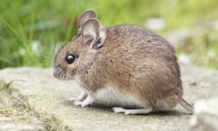 Житель Камышина обнаружил в хлебе запечённую мышь