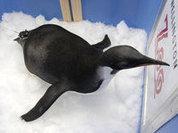 Пингвин-потеряшка снова плывет в Новую Зеландию (+фото)