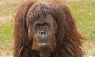 В лесах Борнео орангутанг пришел на помощь человеку в реке