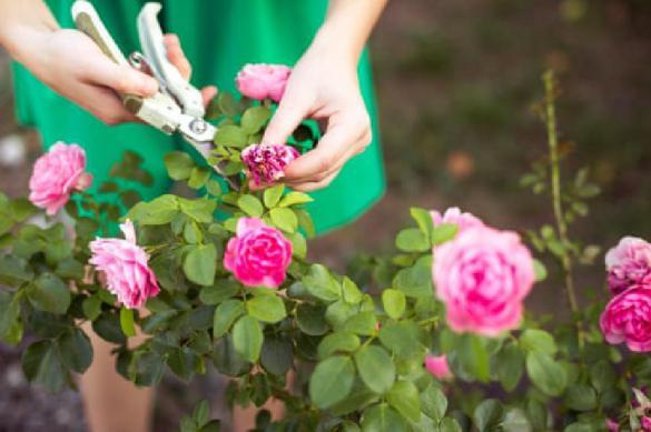Все серьезно: в Японии срезают тысячи цветов, чтобы люди сидели дома