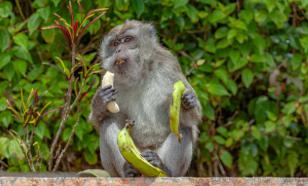 У обезьян,  зараженных коронавирусом, выработался иммунитет