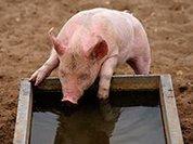 Жительницу Канады арестовали за попытку напоить свиней