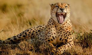 Раскрыт секрет скорости гепардов