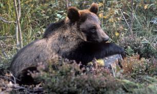 Медведям Подмосковья не нравится бабье лето