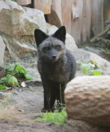 Сватовство чернобурого Тюльпана: события екатеринбургского зоопарка