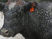 Турист отобрал у баварской коровы колокольчик