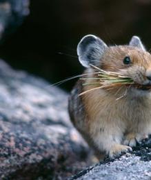 """""""Эффект победителя"""": исследование о влиянии побед мышей на их поведение"""