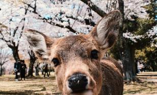 Полиция Токио задержала пятнистого оленя