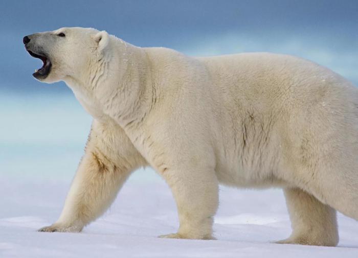 Как 5 сантиметров меха спасают белых медведей от холода