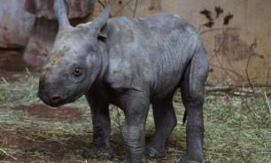 В зоопарке США родился редкий черный носорог