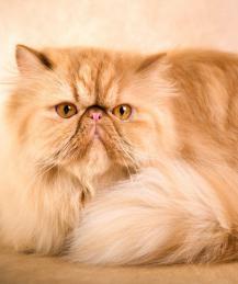 Особо умилительные кошки: залог успеха - плоская морда
