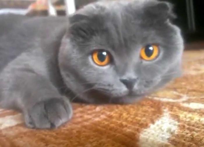 Российские учёные разработали вакцину против аллергии на кошек
