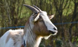 Специалисты создали антираковый препарат из молока трансгенных коз