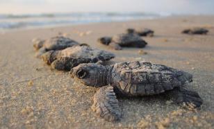 В Индии тысячи черепах строят гнезда на опустевших пляжах