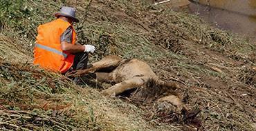 В Тбилиси лев, сбежавший из разрушенного наводнением зоопарка, убил человека