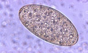 Где в Европе находится очаг паразитов?