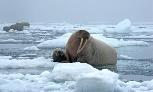 На Больших Оранских островах установили пункт для наблюдения за моржами