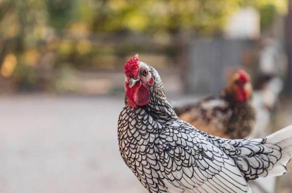 Курицы защитят людей отмалярии