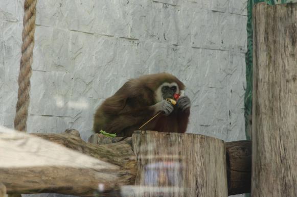 В Калининграде обезьяны гуляют по морозу, закутавшись в пледы