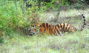 Козел Тимур не вернется к тигру Амуру