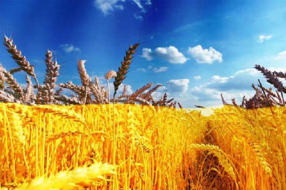 Экспортные цены на пшеницу из России достигли максимальных значений