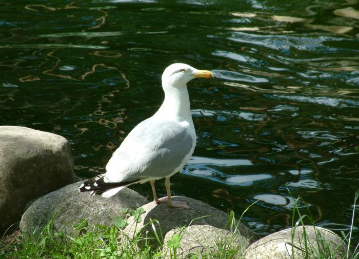 Чайки, голуби и пингвины могут быть переносчиками опасных супербактерий