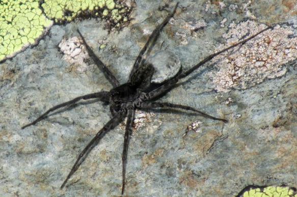 На Алтае обнаружен ранее неизвестный науке вид пауков-волков