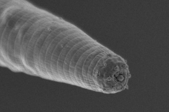 Дьявольский червь выживает в экстремальной жаре благодаря генам