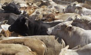 Правительство выделило свыше 7 млрд рублей на животноводство