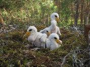 Впервые за несколько десятилетий в Нижегородской области обнаружено гнездо черного аиста