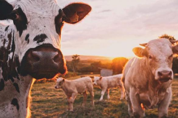 Грузовик с коровами перевернулся в Вологодской области