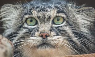 В Московском зоопарке вновь можно увидеть манула