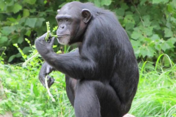 Зоологи выявили новый способ общения шимпанзе с сородичами
