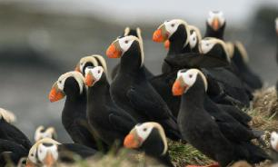 Большой клюв помогает птицам топоркам избежать перегрева
