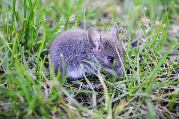 В Пензенской области растет число заразившихся мышиной лихорадкой