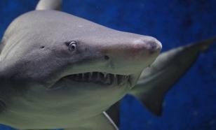 Акулы используют магнитное поле Земли для ориентирования в океане