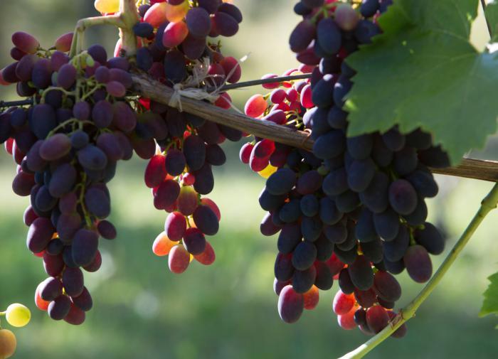 Кардинал: как вырастить вкусный сорт винограда