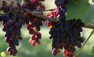 Кардинал — вкусный сорт винограда калифорнийской селекции