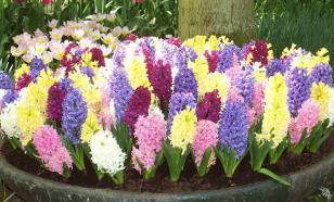 Гиацинт - цветок дождя. Посадка, правила ухода