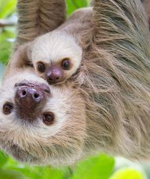 Ленивцы: медлительны, но совсем не просты