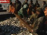 Дефицит икры: лососи передумали ходить в РФ