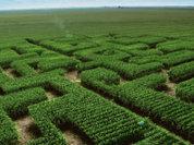 Россию заражают генно-модифицированными семенами