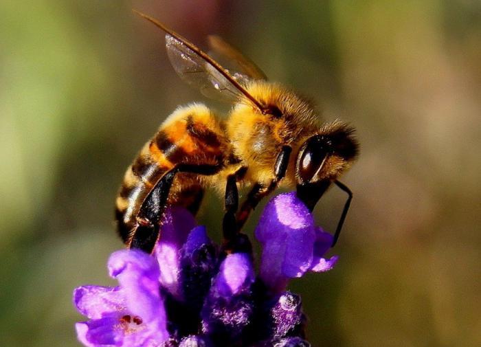 За последние 30 лет количество диких пчёл сократилось на 25%