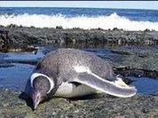 К бразильскому побережью прибило сотни мертвых пингвинов