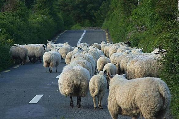 Азербайджанец устроил 57 овцам