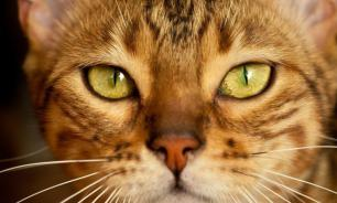 Кошки привязываются к владельцам не меньше, чем собаки и младенцы