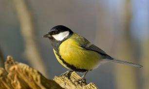 Изменение климата провоцирует синиц убивать других птиц